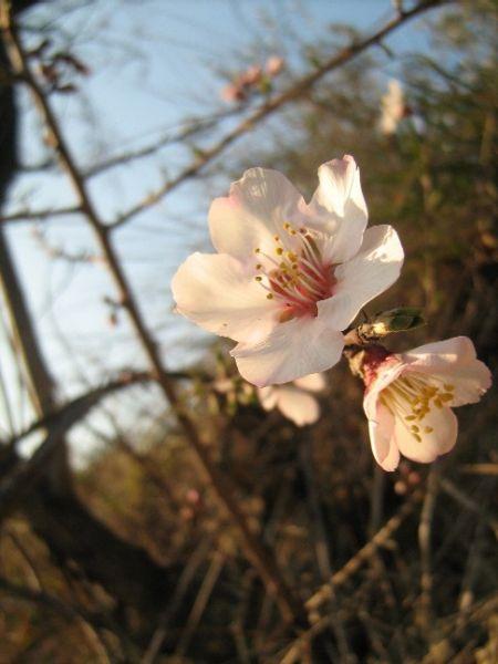 fleursdamandiers006.jpg