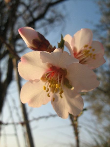 fleursdamandiers007.jpg
