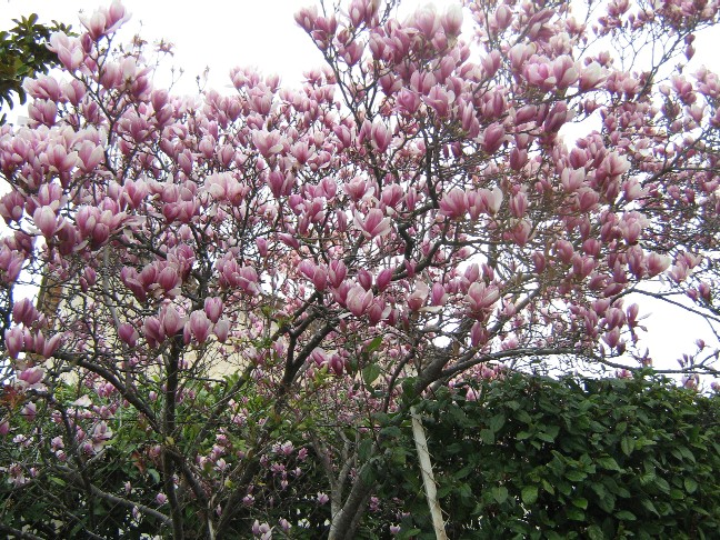tulipier001.jpg