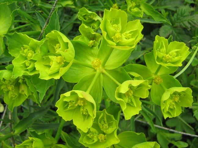 euphorbe fleurs002